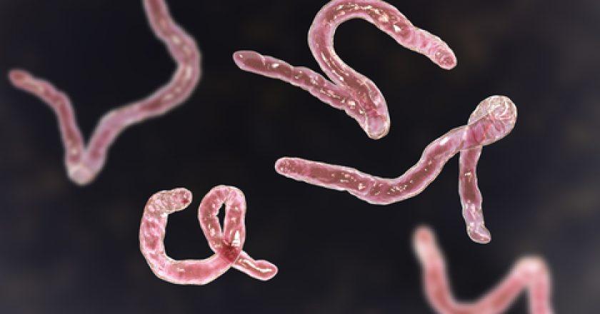 Parasitic hookworm Ancylosoma