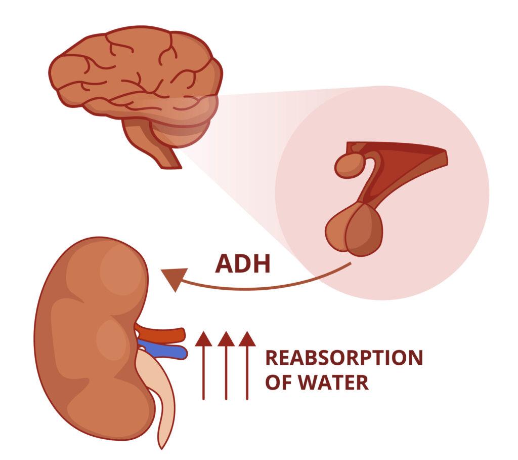 Illustration of the antidiuretic hormone function. Vasopressin physiology