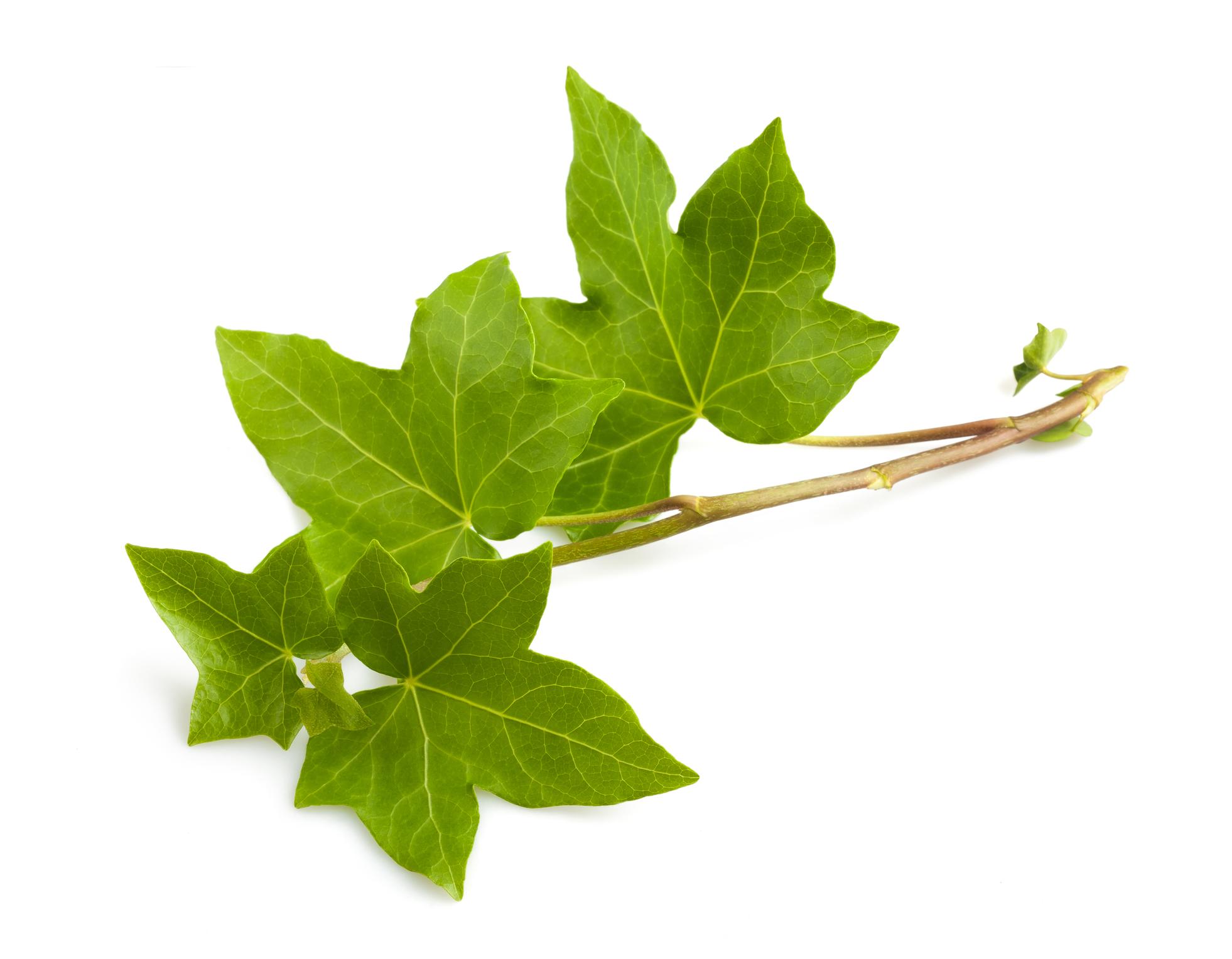 Κισσός, το φυτό που χρησιμοποιήθηκε για να τροποποιηθεί γενετικά και να απομακρύνει βλαβερές ουσίες από τον αέρα του σπιτιού