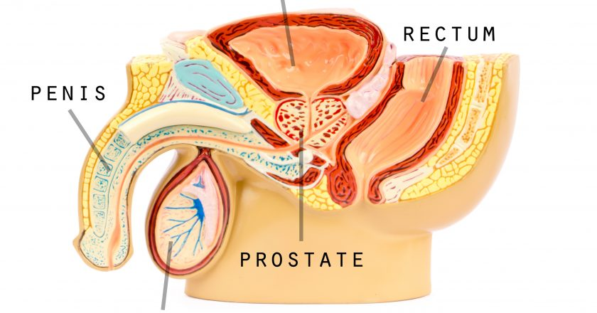 Male genital anatomy | Ανατομία ανδρικού αναπαραγωγικού συστήματος