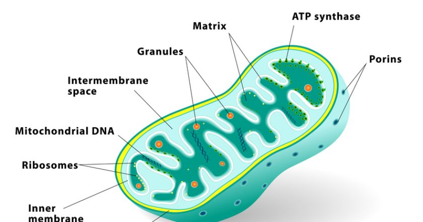Mitochondrion vector illustration | © Designua | Dreamstime Stock Photos