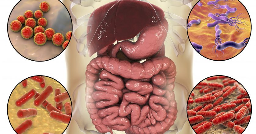 Intestinal microbiome, bacteria colonizing different parts of digestive system