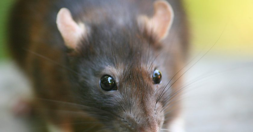 Portrait of a Brown Rat. The rat is known worldwide, and is probably the most succesfull mammal alive today. mouse | © Aazz1 | Dreamstime Stock Photos