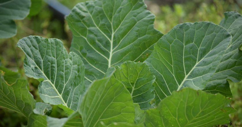 Leafy Collard Greens