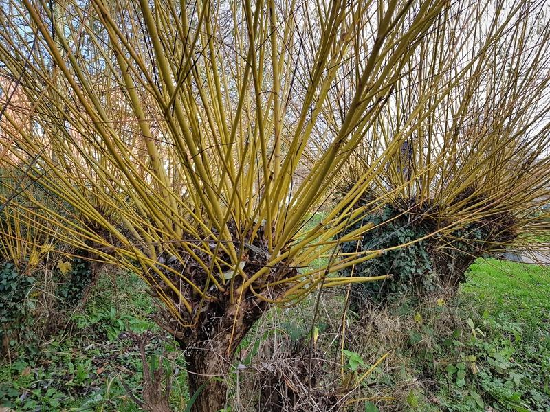 Willow tree |