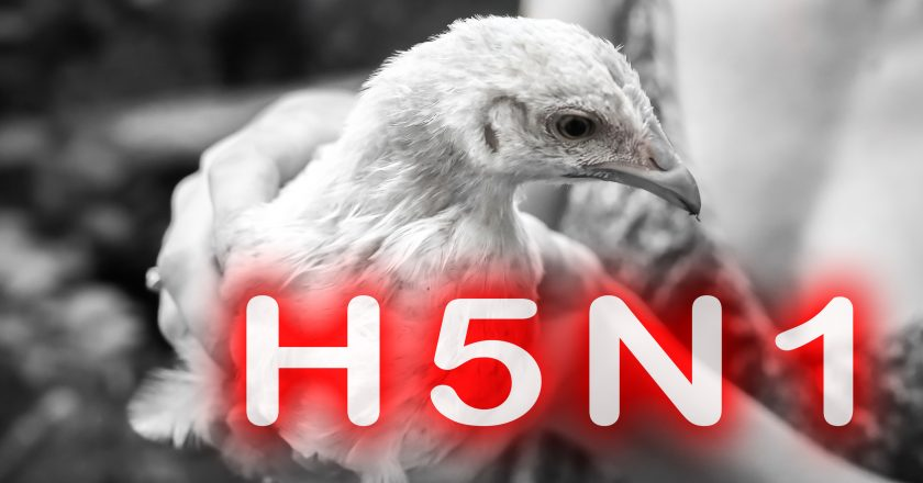 Epidemic disease of chicken flu h5n1. Chinese pandemic danger. Animals virus to people. Woman holds a hen