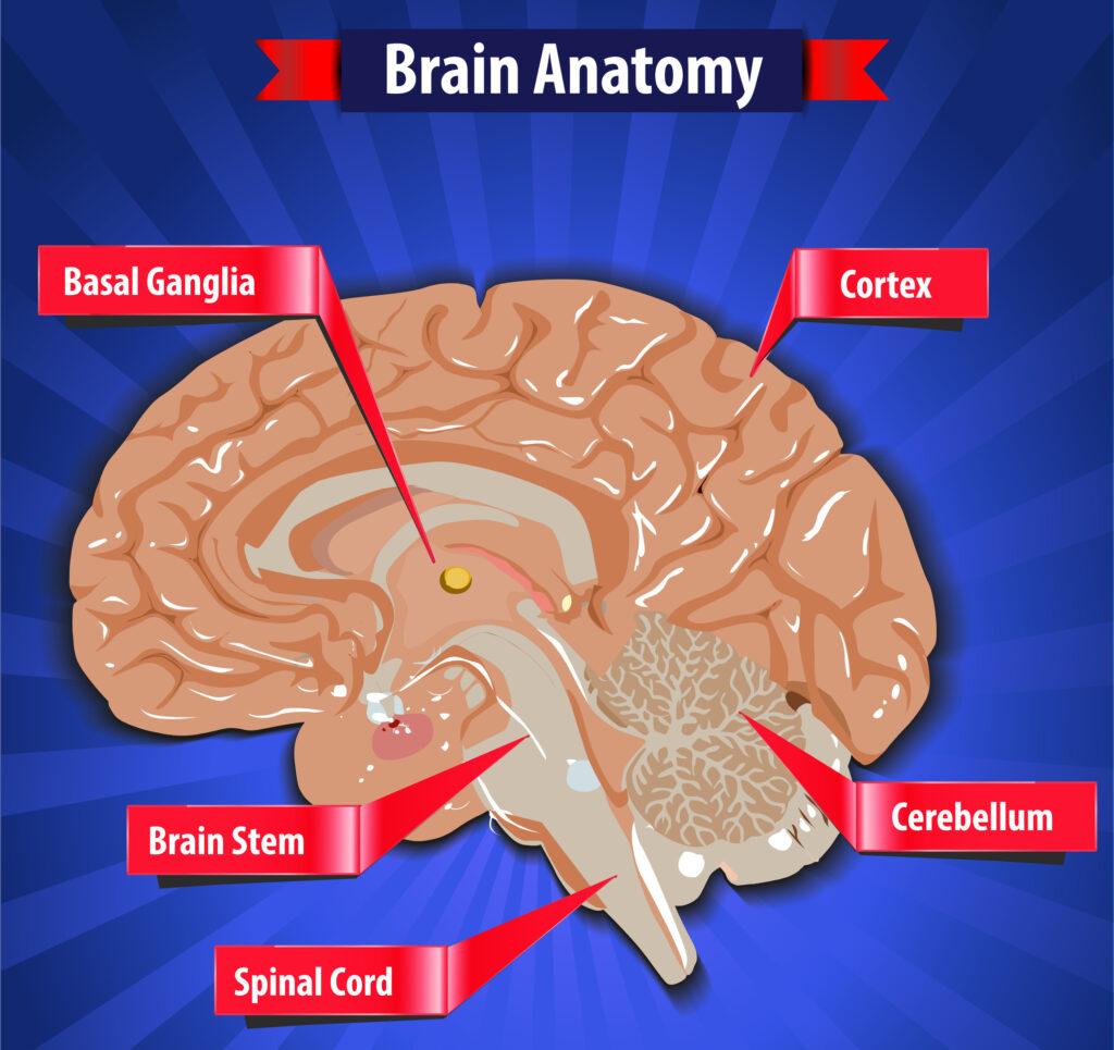 Brain function, human brain anatomy with Basal Ganglia, Cortex, Brain Stem, Cerebellum and Spinal Cord