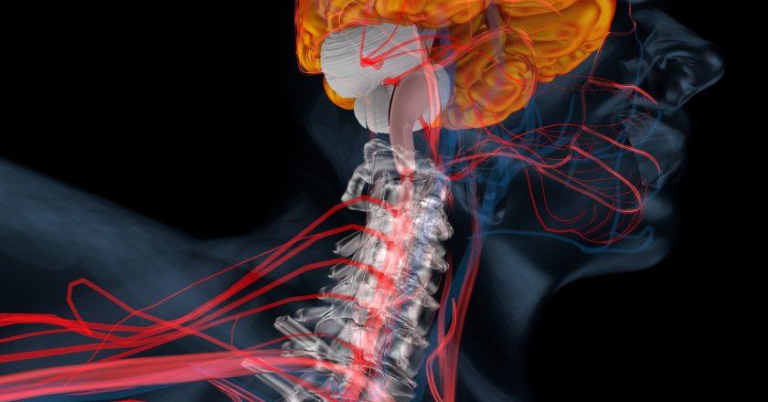 Cerebellum, brain perspective |