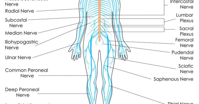 Nervous System |