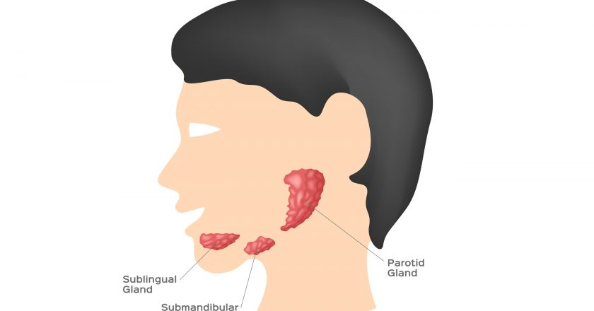 Salivary glands  sublingual , submandibular and parotid gland  - Vector