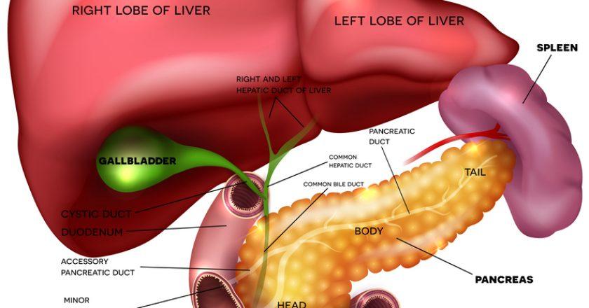 Internal organs, liver, pancreas, spleen | © Guniita | Dreamstime Stock Photos